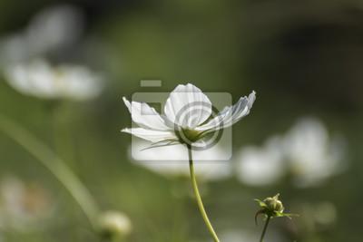 Fototapete Weiße Blüte