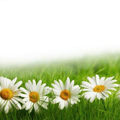Fototapete Weiße Daisy Blumen im grünen Gras
