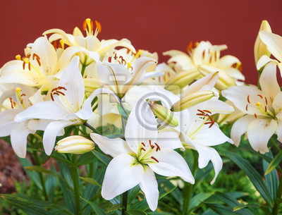 Weiße Lilien Auf Einem Bett Im Garten Fototapete Fototapeten