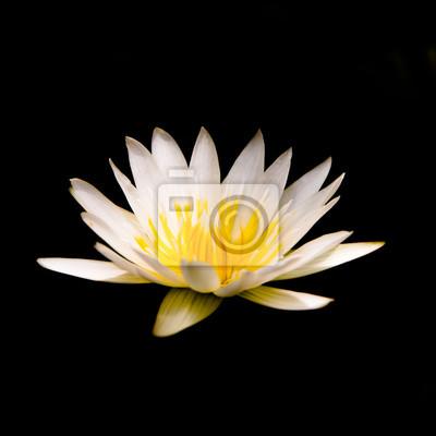 Weiße lotusblume auf schwarzem hintergrund. fototapete • fototapeten ...