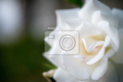 Weiße Rose Nahaufnahme
