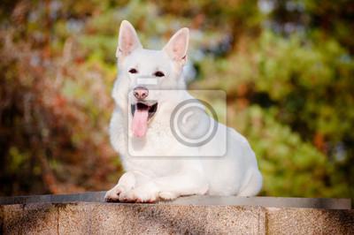 Weiße Schäferhund Porträt