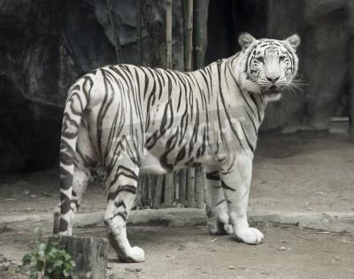 Weiße Tiger Foto