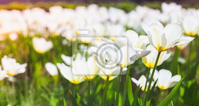 Weisse Tulpe Blumen Im Fruhjahr Garten Fototapete Fototapeten