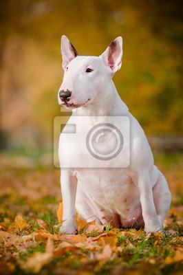 weißen Stier Terrier Hund Herbstportrait sit