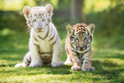 Weißen und roten Tigerjungen draußen