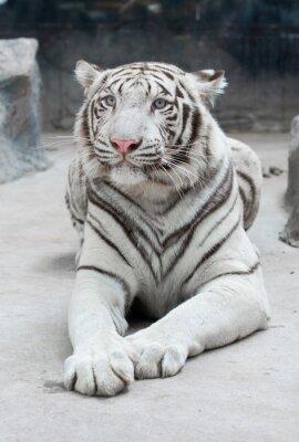 Fototapete Weißer Bengal-Tiger
