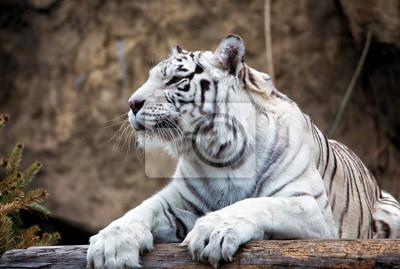 Weißer Bengal-Tiger