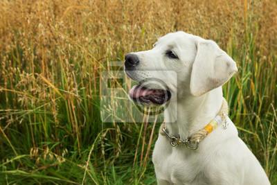 Weißer junger Labrador