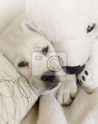 Weißer Labrador welpe kuschelt mit Eisbär auf weißem Sofa