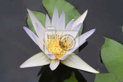 Weißer Lotos mit Biene im Blütenstaub in Thailand.