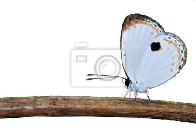 weißer Schmetterling (Wald quäker) isoliert auf weiß