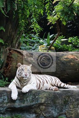 Weißer Tiger 2
