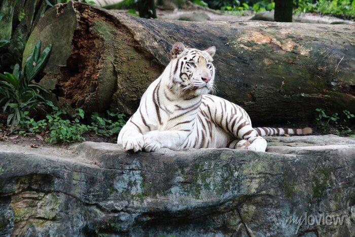 Fototapete Weißer Tiger 4