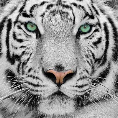 Fototapete Weißer Tiger