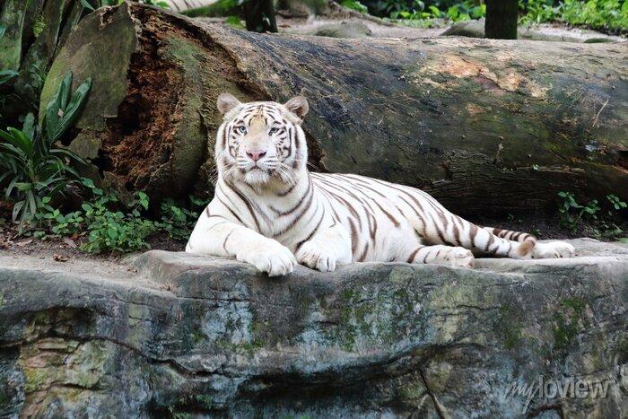 Fototapete Weißer Tiger 5