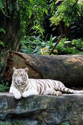 Weißer Tiger 6