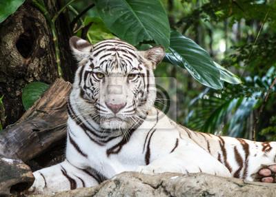 WEIßER TIGER auf einem Felsen
