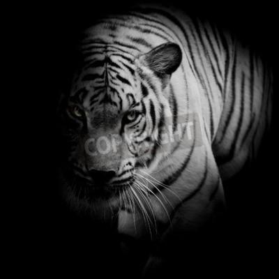 Fototapete Weißer Tiger auf schwarzem Hintergrund isoliert