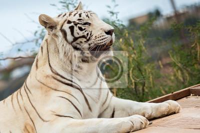 Weißer Tiger im Zoo