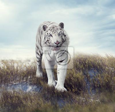Weißer Tiger in der Wiese
