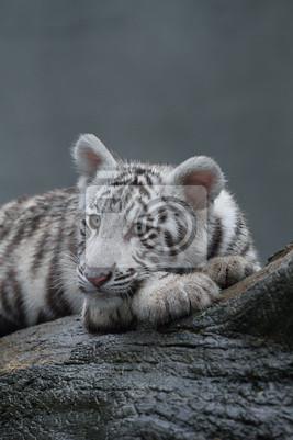Weißer Tiger Porträt