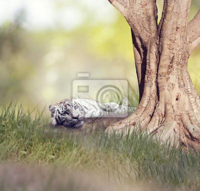 Weißer Tiger ruht