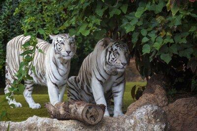 Fototapete Weißer Tiger vorsichtig suchen