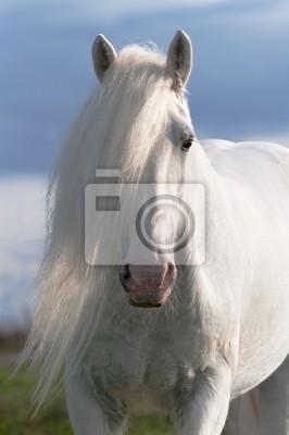fa595393ba375 Weißes pferd hengst porträt fototapete • fototapeten shire