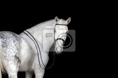 c28b2640bf150 Fototapete Weißes Pferd Porträt in Dressage Zaum isoliert auf schwarzem  Hintergrund