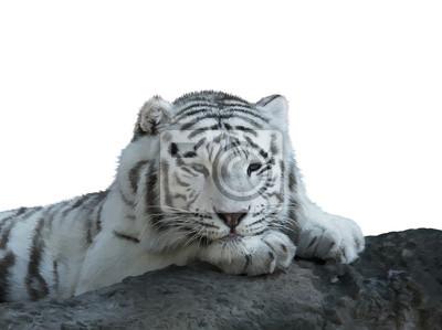 Weißes Tiger Aquarell