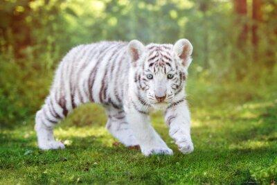 Weißes Tigerjunge, das draußen geht