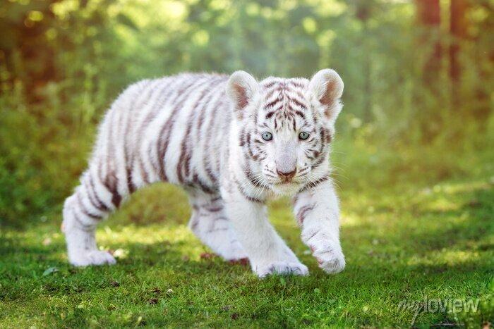 Fototapete Weißes Tigerjunge, das draußen geht