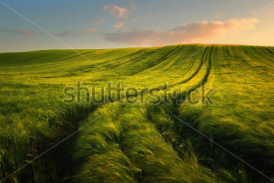 Fototapete Wheat field landscape with path in the sunset time