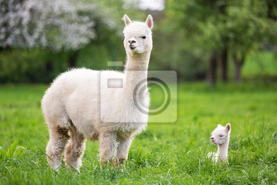 Fototapete White Alpaca with offspring, South American mammal