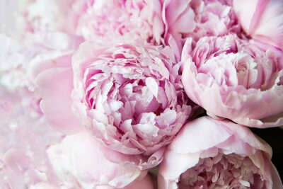 Fototapete White and pink peonies. Background, wallpaper..