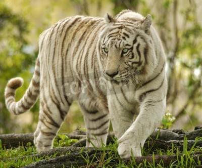 Fototapete White Bengal Tiger Approaching