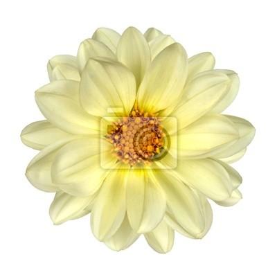 White dahlia blumen-gelb-center isolated fototapete • fototapeten ...
