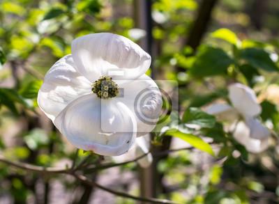 White Dogwood Cornus Florida In Spring Closeup Of Flower