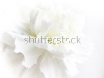Fototapete White flowers background. Macro of white petals texture. Soft dreamy image
