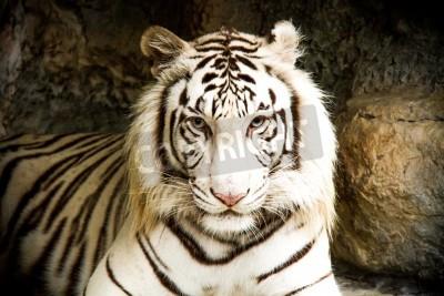 Fototapete white tiger in nightsafari chiangmai Thailand
