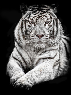 Fototapete White Tiger liegend mit Blick auf die Kamera auf einem schwarzen Hintergrund