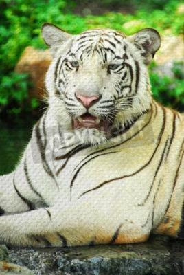 """""""white tiger"""" Mural. The pond paper painting  concept"""