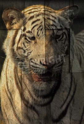 """""""white tiger"""" Mural. The stone painting  concept"""