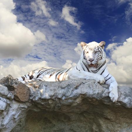 Fototapete White tiger on blue sky