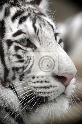 White Tiger Portrait Nahaufnahme