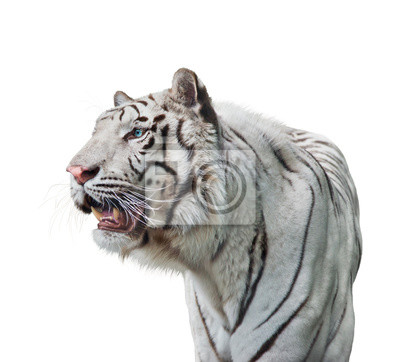 White tiger portrait  on white background
