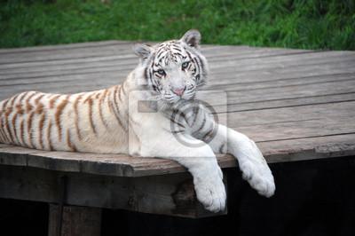White Tiger Porträt