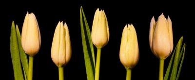 Fototapete White Tulip Panorama