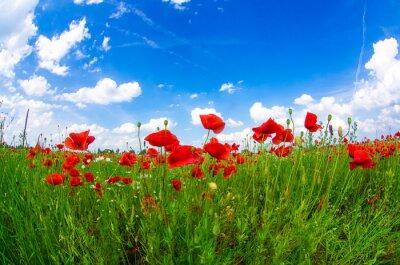Fototapete Wiese mit wilden Mohnblumen